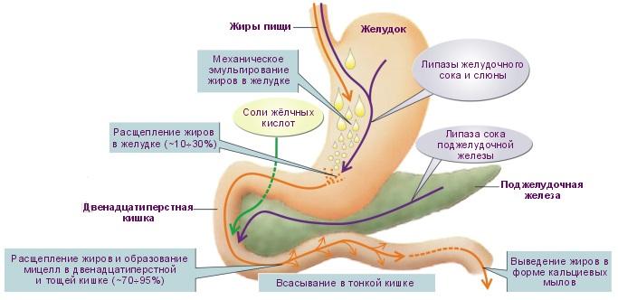 Food Enzymes